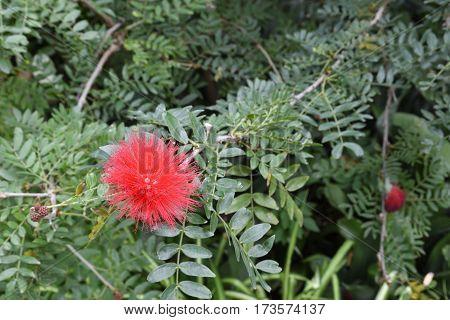 Red powder puff flower (Calliandra haematocephala) from Botanical garden Puerto de la Cruz Tenerife Spain.