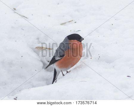 Red-colored Male of Eurasian Bullfinch Pyrrhula pyrrhula close-up portrait on snow selective focus shallow DOF