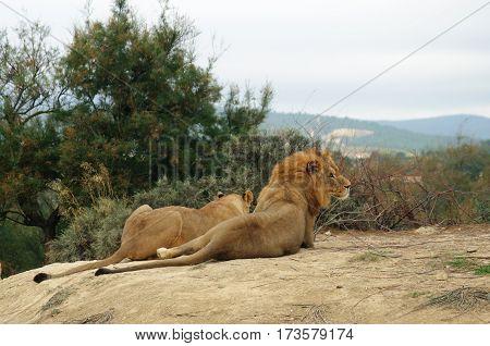 Pair of lions in safari park in Sigean, France