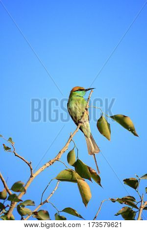 Green Bee Eater Bird with Blue Sky in New Delhi India