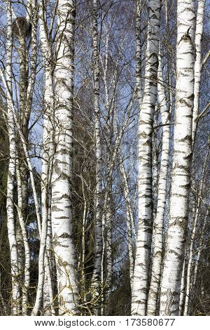 Several leafless tall birch trees in late winter