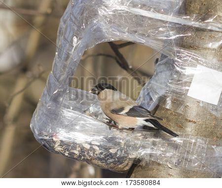 Brown Female of Eurasian Bullfinch Pyrrhula pyrrhula close-up portrait at bird feeder from plastic bottle selective focus shallow DOF