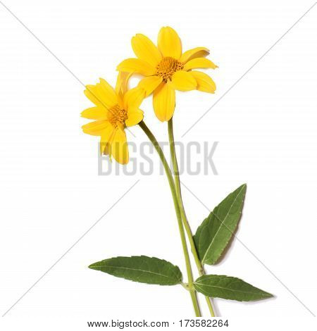 Vivid yellow summer flowers isolated on white background.