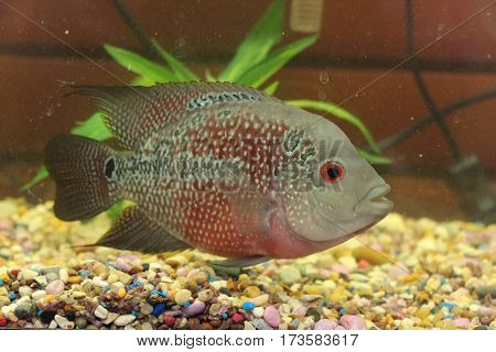 Tropical Fish known commonly as Flower Horn
