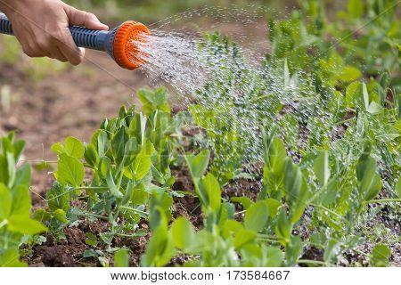 hand of gardener watering green peas in the vegetable garden