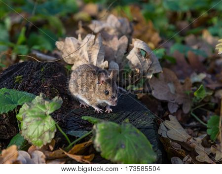 gray mouse on the stump in the forest among autumn fallen leaves