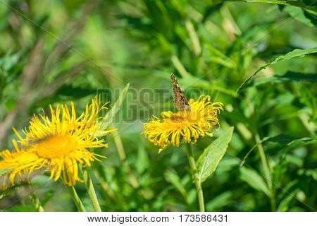 Butterfly on yellow wildflower with blurred background
