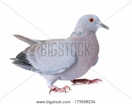 gray turtledove in front of white background