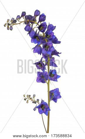 Blue delphinium flower isolated on a white background