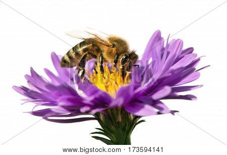 detail of bee or honeybee in Latin Apis Mellifera european or western honey bee sitting on the violet flower isolated on white background golden honeybee on flower