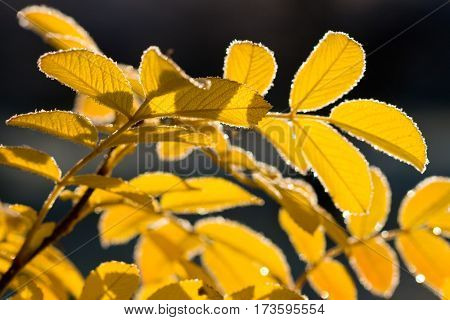 Yellow leaves with autumn frost in sun