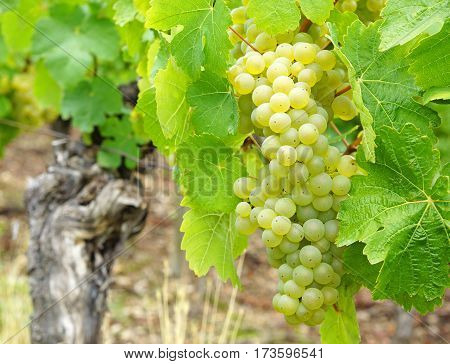 Wine grapes in the vineyard - harvest time