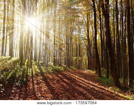 view from autumnal hardwood forest with sun beam - european beechs (fagus sylvatica)