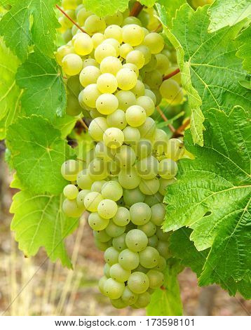 White wine grapes in the vineyard - harvest time