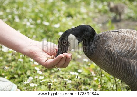 Unrecognisable hand feeding a black and white barnacle goose