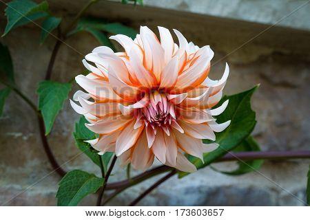 beautiful orange chrysanthemum single flower outdoor nature