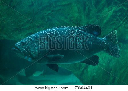 Giant grouper (Epinephelus lanceolatus), also known as the banded rockcod.