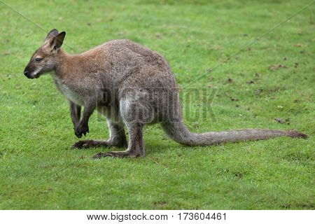 Red-necked wallaby (Macropus rufogriseus), also known as the Bennett's wallaby.