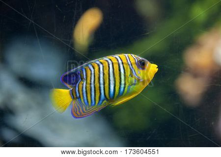 Royal angelfish (Pygoplites diacanthus), also known as the regal angelfish.