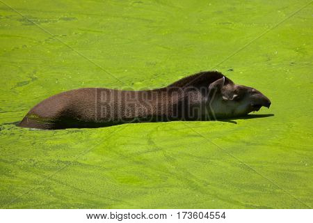 South American tapir (Tapirus terrestris), also known as the Brazilian tapir.