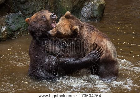 Kamchatka brown bears (Ursus arctos beringianus), also known as the Far Eastern brown bears fighting in water.