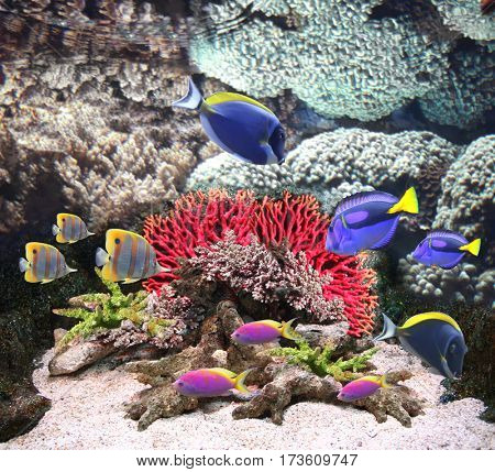 Underwater scene with corals and beautiful tropical fish - hepatus; blue tang