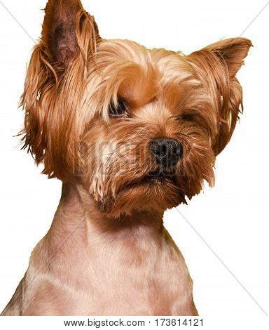 Yorkshire Terrier isolated on a white background closeup