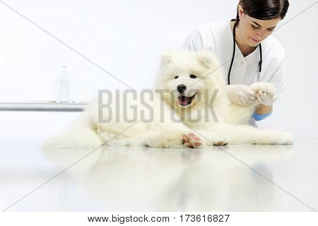 Veterinarian examining dog paw on table in vet clinic