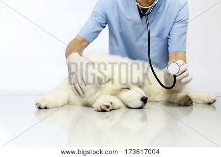 Veterinarian examining dog on table in vet clinic showing stethoscope