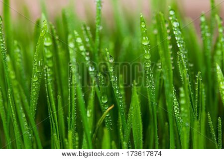 Wheatgrass Sprout and blurry background. green grass.
