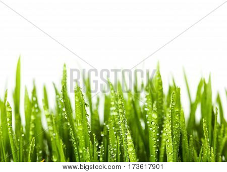 Wheat grass on white background. green grass