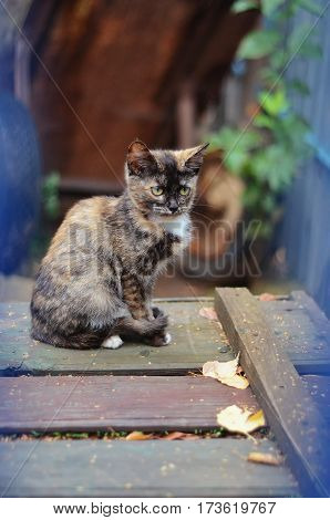 A small mottled torti calico kitten sitting on a old wooden boards in the garden.