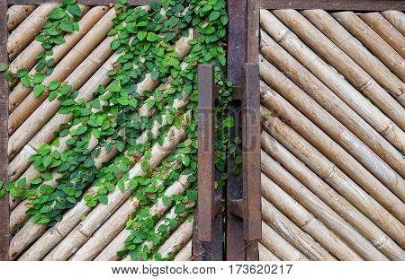 Natural yellow dry bamboo wall, gate for background, homemade, handmade vintage local wooden style, interior and built for decorated home, with a bindweed leaves. Bali, Indonesia.