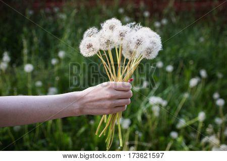 White dandelion in a female hand on a green background. Summer flower  dandelion