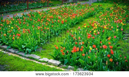 Flower tulips background. Beautiful view of red and yellow tulips under sunlight landscape at the middle of spring or summer. Colorful tulips, tulipa field, lawn, spring flowers at green garden.