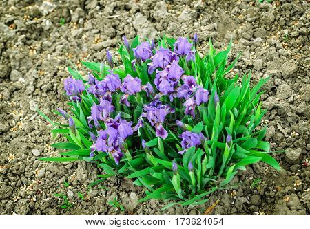 Wild iris, iris aphylla. Small blue iris flowers in the garden. Early springtime. Beautiful spring flower.