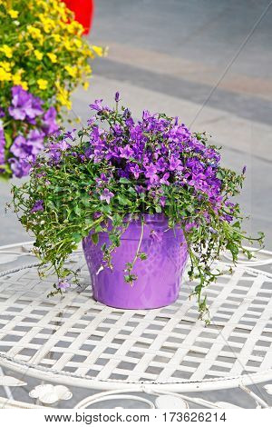 Purple bell flowers (Campanula) in pot on a white table