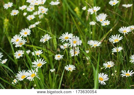 White daisies growing in the meadow. Macro photo. Green grass. Summer daisies