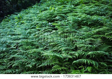 Background of green fern. Summer time. Dark fern forest
