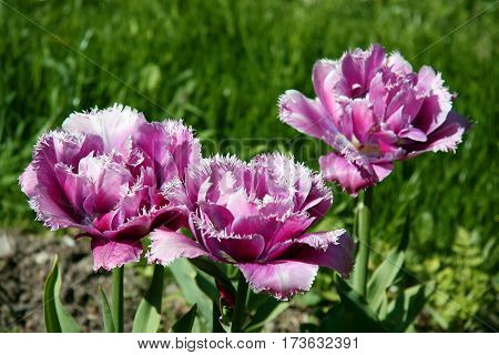 Three Pink Curly Tulips In Spring Field