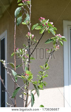 Grafted dwarf apple tree full of blossoms on a late winter day. This grafted tree bears 5 different kinds of apples