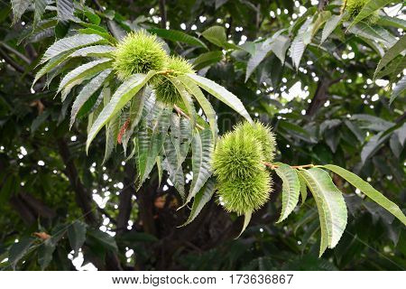 Chestnut on Chestnut tree in organic  farm