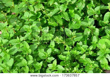 Spearmint or spear mint (Mentha spicata) (also known as Mentha viridis) is a species of mint native to much of Europe and Asia