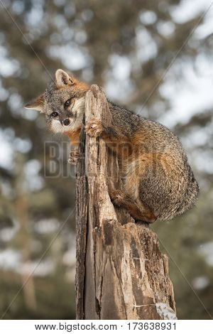 Grey Fox (Urocyon cinereoargenteus) Clings to Top of Broken Off Tree - captive animal