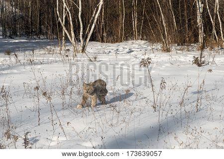 Canadian Lynx (Lynx canadensis) Walks Left Through Snow - captive animal