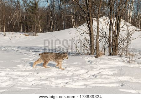Canadian Lynx (Lynx canadensis) Walks Right Near Trees - captive animal