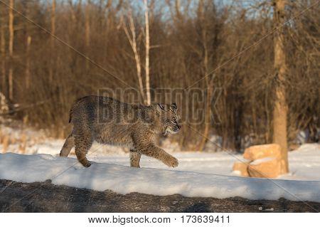 Bobcat (Lynx rufus) Walks Right Across Log - captive animal