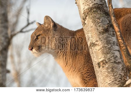 Adult Female Cougar (Puma concolor) Looks Out From High Up in Tree - captive animal