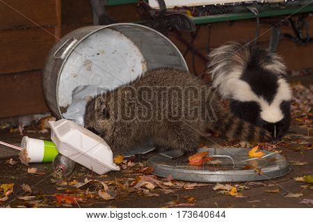 Raccoon (Procyon lotor) and Skunk (Mephitis mphitis) Root Through Trash - captive animals