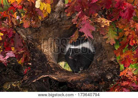 Striped Skunk (Mephitis mephitis) in Log Surrounded by Fall Leaves - captive animal